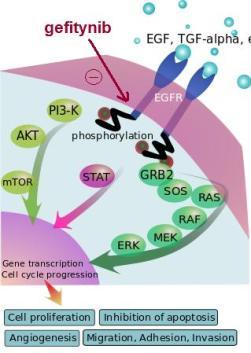 Rola EGFR w powstawaniu nowotworów i mechanizm działania gefitynibu. Domena publiczna